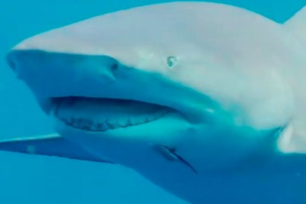 Real America with Jorge Ramos: Swimming with Sharks